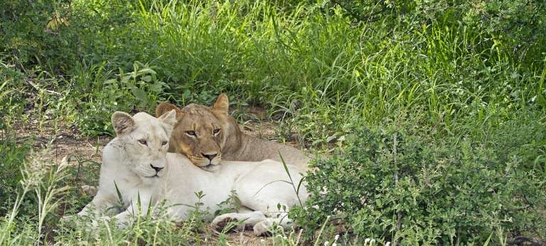 Kruger's Sabi Sands and Timbavati Discovery Safari