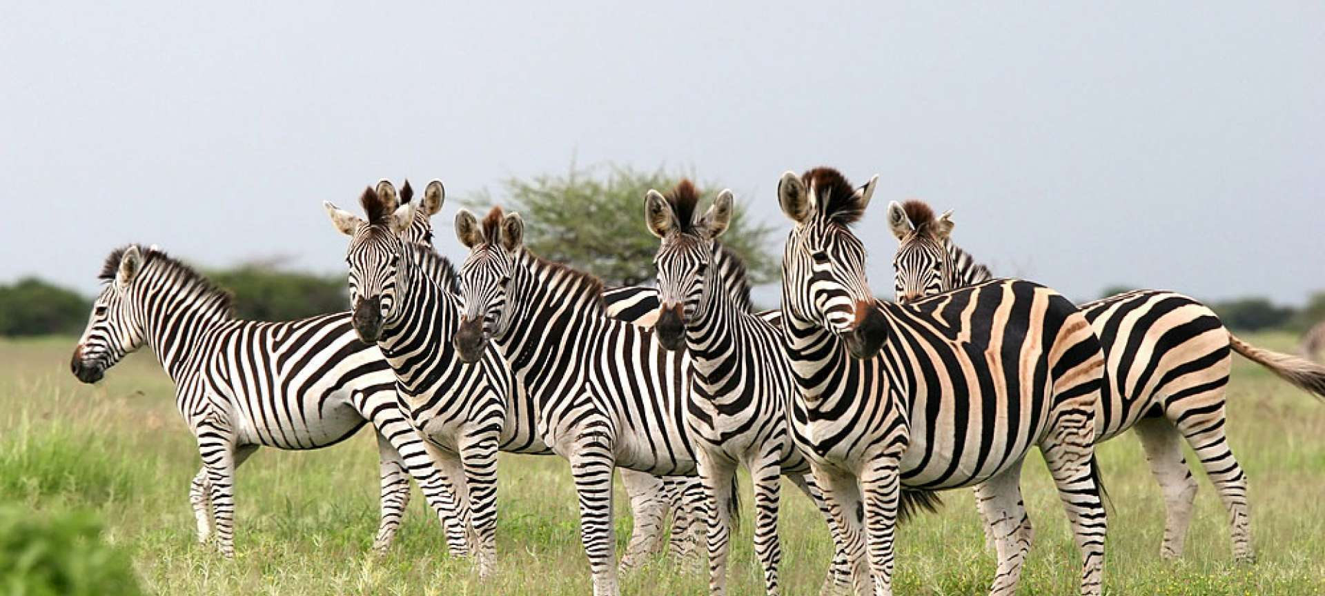 Group of Zebras in the best time to visit Botswana