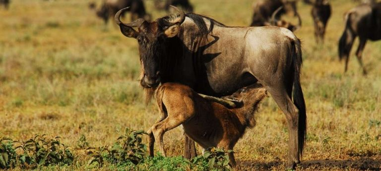 9-day Calving Season safari with HerdTracker (Luxury) - Africa Wildlife Safaris