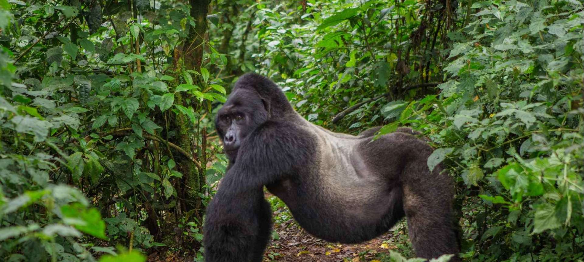 Bwindi Impenetrable National Park - Africa Wildlife Safaris