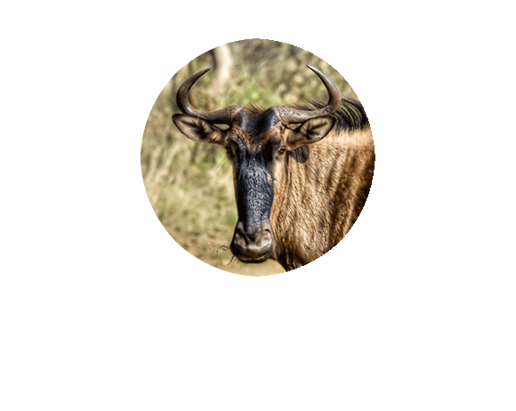 Herdtracker's great wildebeest migration Twitter picture