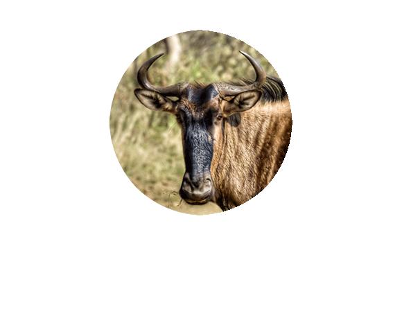 Herdtracker's great wildebeest migration Twitter picture