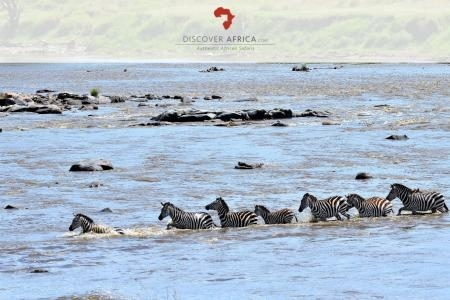 zebra-at-the-confluence-of-the-bologonja-and-mara-river