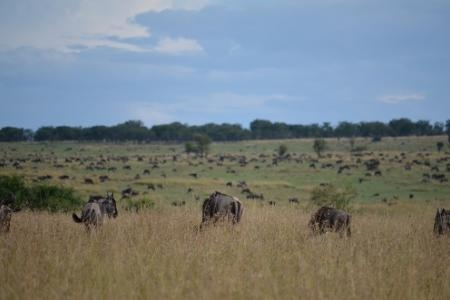 the-back-end-of-the-wildebeest-migration-has-left-fort-ikoma