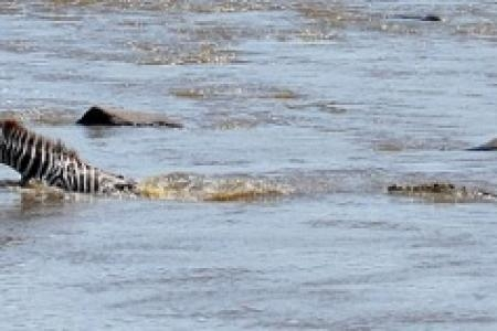 this-zebra-had-a-close-encounter-with-a-crocodile-and-survived