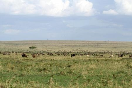the-wildebeest-herds-outside-governors-camp