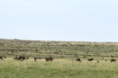 the-wildebeest-migration-assembling-at-rhino-ridge
