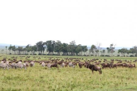 the-wildebeest-migration-is-moving-towards-the-ongata-ronkai-and-burrangat-areas