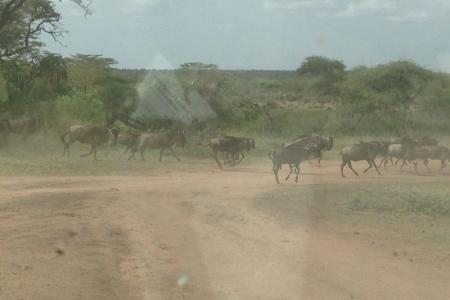 the-wildebeest-migration-in-seronera