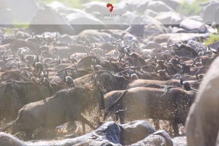 the wildebeest migration going over into the kenyan side