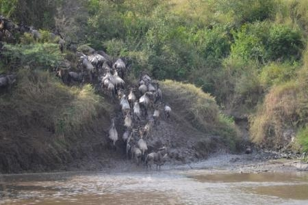 the-wildebeest-migration-crossing-the-mara-river-at-crossing-point-five