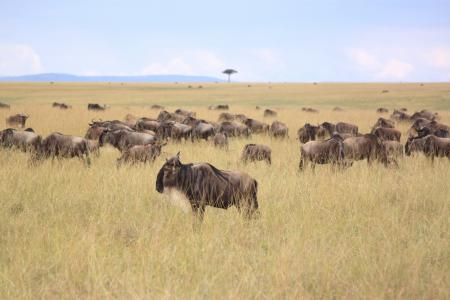 the-wildebeest-migration-at-look-out-hill