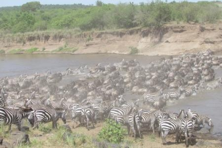 zebra-crossing-the-mara-river