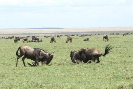 wildebeest-males-rutting