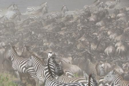 the-wildebeest-migration-heading-into-the-mara-triangle
