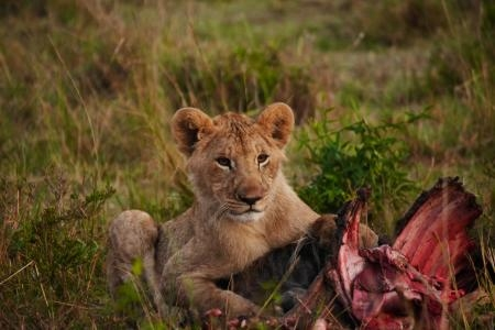 a-lion-cub-with-the-remains-of-a-wildebeest-kill