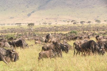 the-wildebeest-migration-on-the-plains-of-the-trans-mara