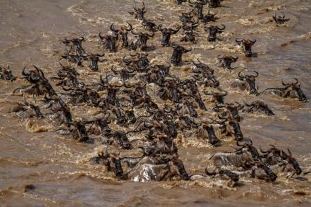large-numbers-of-wildebeest-crossing-the-crocodile-infested-mara-river