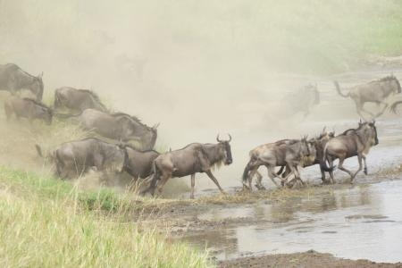 good-wildebeest-migration-crossings-on-the-serengeti-side