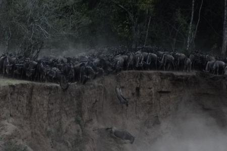 wildebeest-jumping-to-their-peril-at-the-mara-river