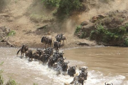 the-epic-wildebeest-migration-river-crossing-at-the-toyota-site