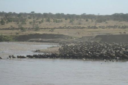 the-wildebeest-herds-crossing-the-mara-river-at-crossing-point-eight