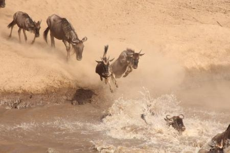 wildebeest-jumping-into-the-mara-river-in-the-serengeti