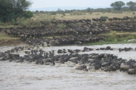 the-wildebeest-migration-at-olakira