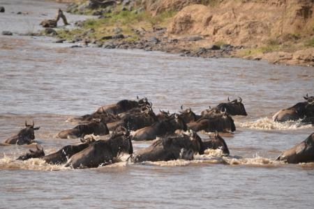 small-wildebeest-migration-river-crossing-at-the-main-crossing-point