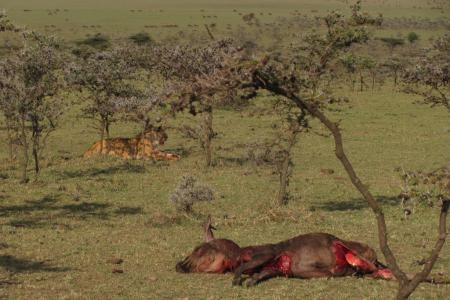 a-distant-view-of-the-wildebeest-kill