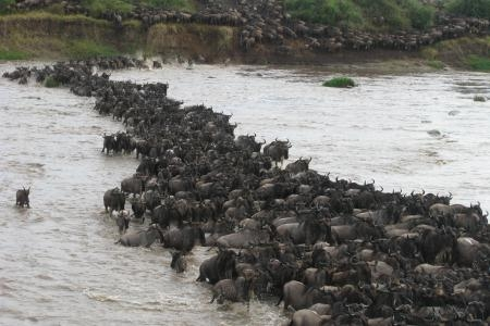 the-wildebeest-migration-crossing-the-mara-river-today