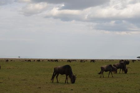 the-wildebeest-migration-is-currently-at-posee-plains-in-the-central-mara