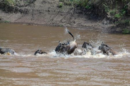 wildebeest-migration-crossing-from-the-trans-mara-into-the-mara-reserve