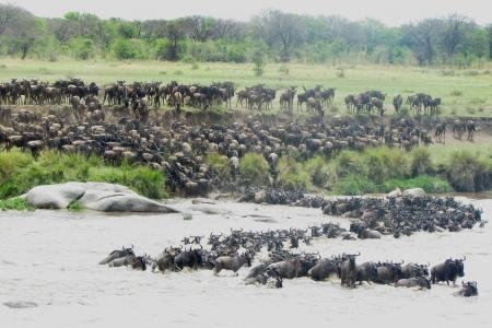wildebeest-migration-crossing-the-mara-river-in-front-of-the-lemala-kuria-hills-camp