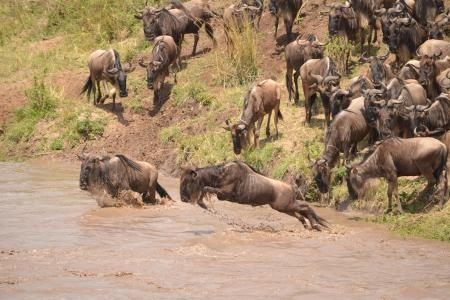 the-wildebeest-migration-is-in-full-flow-at-the-sand-river