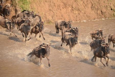 thousands-of-wildebeest-still-crossing-the-sand-river