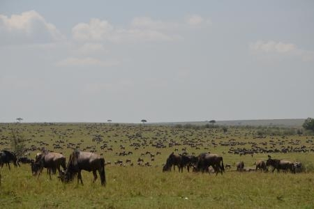 the-wildebeest-herds-are-at-the-sand-river