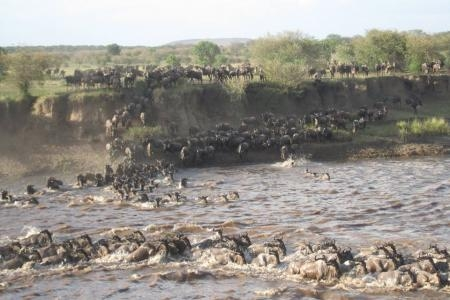 lots-of-wildebeest-in-the-masai-mara
