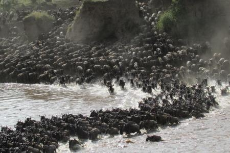big-wildebeest-migration-river-crossing-on-the-serengeti-side-of-the-mara-river