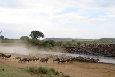 the-wildebeest-migration-moving-along-the-marsh
