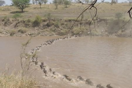 wildebeest-migration-crossing-the-mara-river-at-crossing-point-one
