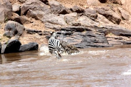 a-crocodile-attacks-a-zebra-trying-to-cross-the-mara-river