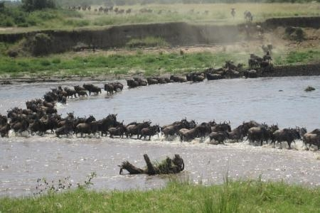 wildebeest-herds-crossing-the-mara-river-at-the-makutano-crossing-point