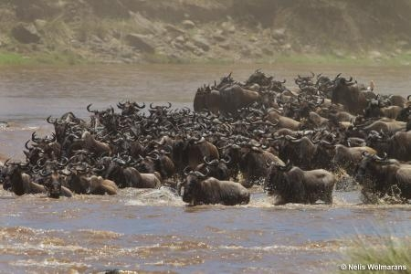 impressive-wildebeest-migration-river-crossing