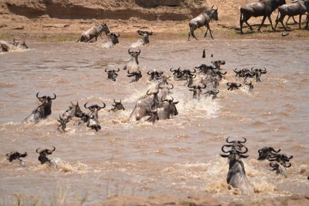 thousands-of-wildebeest-crossing-the-mara-river