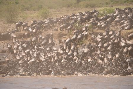 the-wildebeest-migration-at-mortuary-crossing