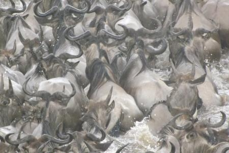 the-massive-wildebeest-migration-river-crossing-at-kaburu
