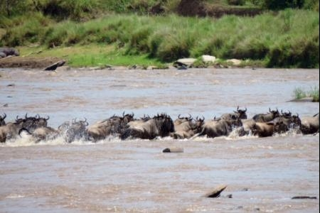 wildebeest-crossing-the-mara-river-to-get-into-the-mara-triangle