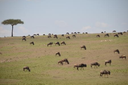 posee-plains-are-filled-with-the-herds-of-the-wildebeest-migration