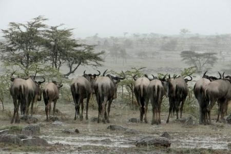 the-migratory-herds-are-around-rhino-ridge-and-topi-plains